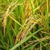 ナチュラルハーモニーで無農薬玄米をお得に購入しました。
