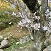 最高の桜🌸