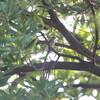 久しぶりのエナガと時期外れのコサメビタキ(大阪城野鳥探鳥 2018/07/15 4:35-8:50)