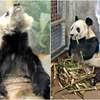 アメリカの動物園でパンダの虐待疑惑が浮上、ネットユーザーからは厳しい声が