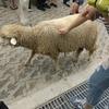 台湾で動物と触れ合って癒されたい?それなら「清境農場・青青草原」に行ってみましょう。