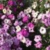 4-22   愛すべき花たち〜無事に越冬しました〜
