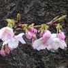今日の景色 桜ほか 02/22