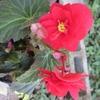 北風に転がされたか花の鉢