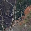 日本 イカルたちの木