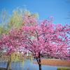 上野公園の早咲きの桜たち。枝垂れ桜、小彼岸、大島桜、陽光、江戸彼岸