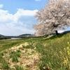 一目千本桜の桜並木を自転車で走ってみました!