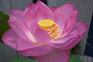 【雑学】自然観察指導員の徒然草=圧巻のハスの花 水辺や湿地も花の宝庫~後編