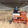 ソーラーシェアリング:匝瑳で大豆の収穫が始まりました - 2年目のソーラーシェアリング
