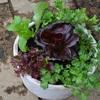 きれい・便利・・・野菜とハーブの寄せ植え
