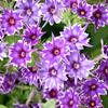 ギザギザの花びらは