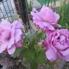 花の美と香りを競う「バラとくちなし」、軍配はいずれに?