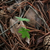 自生もみじこぼれ発芽の軸切り移植