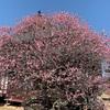 矢掛町 観照寺の臥龍梅を見てきました♪