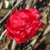 照手桃の花