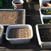 山芋収穫即植え付け、いちごの植え替え、にんにくの植え付け一段落