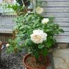 「ボレロ」の二番花