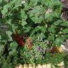 花壇がワタの畑