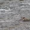 カワガラスのダイビング漁 Part Ⅱ