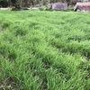 緑の絨毯、エンバク