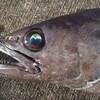 あめ玉コンビ…なんと肛門から油を漏らす!!禁断の深海魚バラムツ
