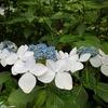 梅雨の代名詞🥀雨に濡れてこそ美しく…見事に咲く「紫陽花」