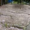 サクラ落花と最盛期のサクラと 創作活動は鯉のぼりづくり