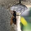 セグロアシナガバチ・女王蜂の給餌行動