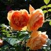 五月晴れの今朝の庭から