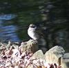 ジィちゃんと探鳥、石神井公園・光が丘公園の野鳥。