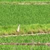 水田から全身を現し畦脇を走って飛び立ち木々を掠めて飛ぶサンカノゴイ
