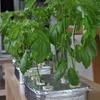 100均のスポンジとタッパーを使った大葉とサニーレタスの水耕栽培(9週間目)