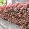 生垣の美しい季節