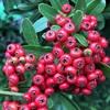 ピラカンサ、そしてソヨゴやナナミノキの赤い実