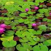 久屋大通庭園フラリエの熱帯スイレンの池