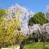 桜、満開近し!(10)