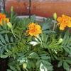 春に種蒔きした花達
