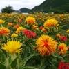 山形市 山形紅花まつりをご紹介!🌺