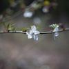 早咲きの野茨