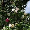 秋の OR アリスター ステラ グレイの美しさと香りの深さ