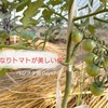 鈴なりトマトが美しい~誘引はどうやっておこなう??~ベジヲタ畑 Day67