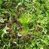 赤松を植える