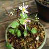 2年目の大文字草が開花