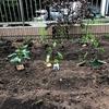 庭がにぎやかに!実がなるイチゴ、梅、アーモンド