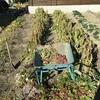 晩秋採れジャガイモ収穫しながら地球を感じる ~Late Autumn Harvesting Potatoes while Feeling the Earth