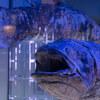 沼津港深海水族館は変な生き物ばかり【シーラカンスの剥製もあり】