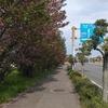今日の朝散歩、桜と碧南産玉ねぎを目撃