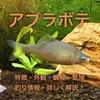 アブラボテの特徴・外観・飼育・繁殖・釣り情報を詳しく解説!