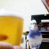 【ここすけの日常】インコが萌え萌えキュンしてみた!編【budgerigar】