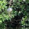 獲物を狙って飛ぶササゴイ1